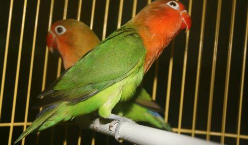 Lovebird Holland : Ciri Harga dan Foto