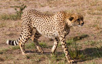 Wallpaper: Cheetah
