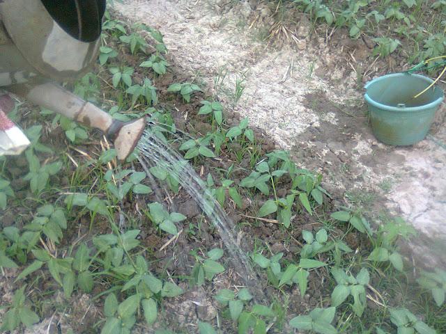 Penyiraman Tanaman Kacang Tunggak