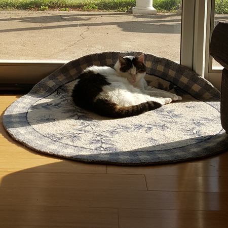 image of Olivia the White Farm Cat curled up on a round rug, which is smooshed up against a window, to create some shade