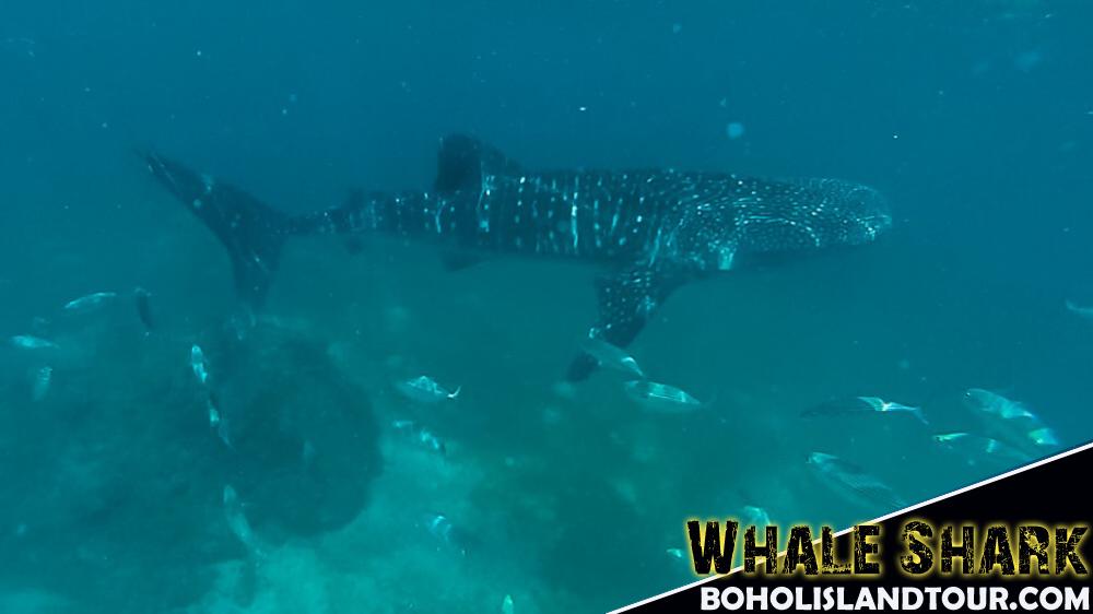 visit whale shark cebu