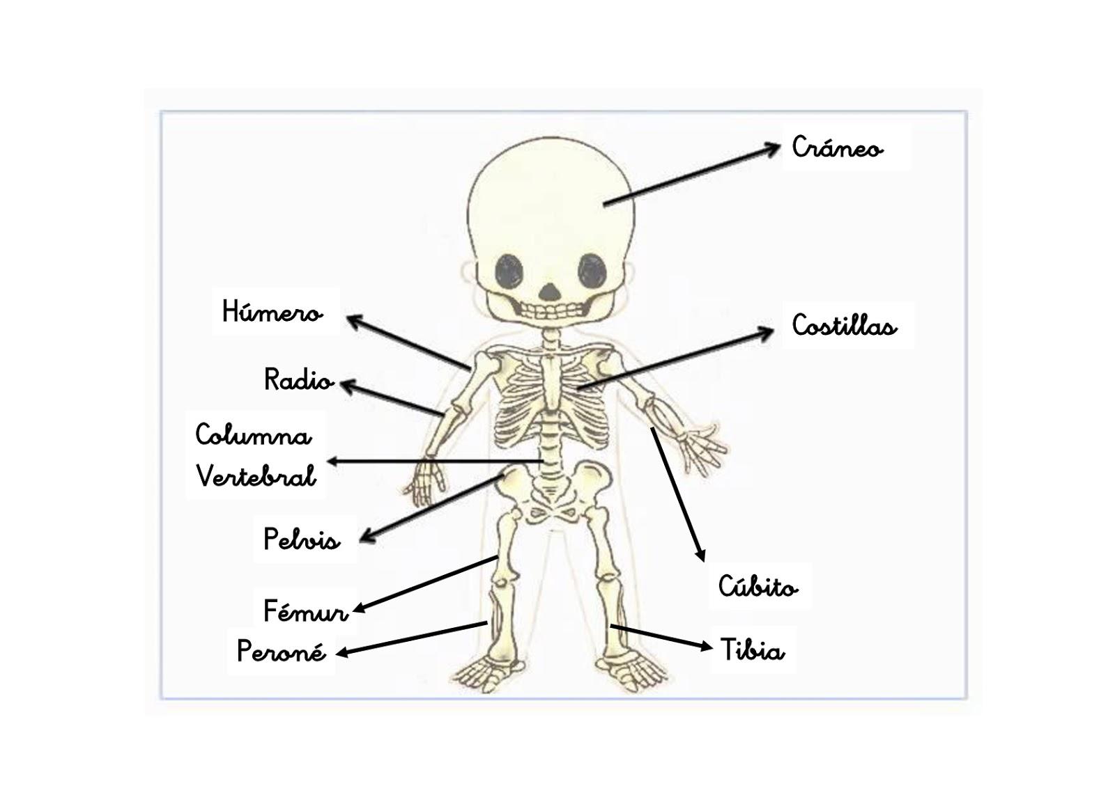 best Imagenes Esqueleto Humano Para Niños image collection