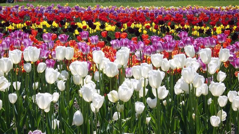 Tulips Flowers HD Wallpaper 6