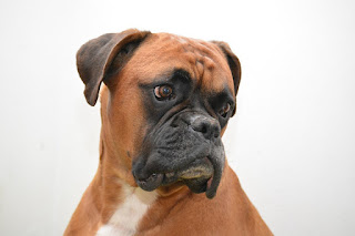Your Chosen Breed The Boxer Dog