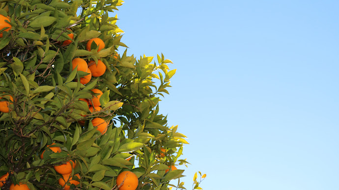 Wallpaper: Tree. Natural. Fruits. Oranges. Clementines