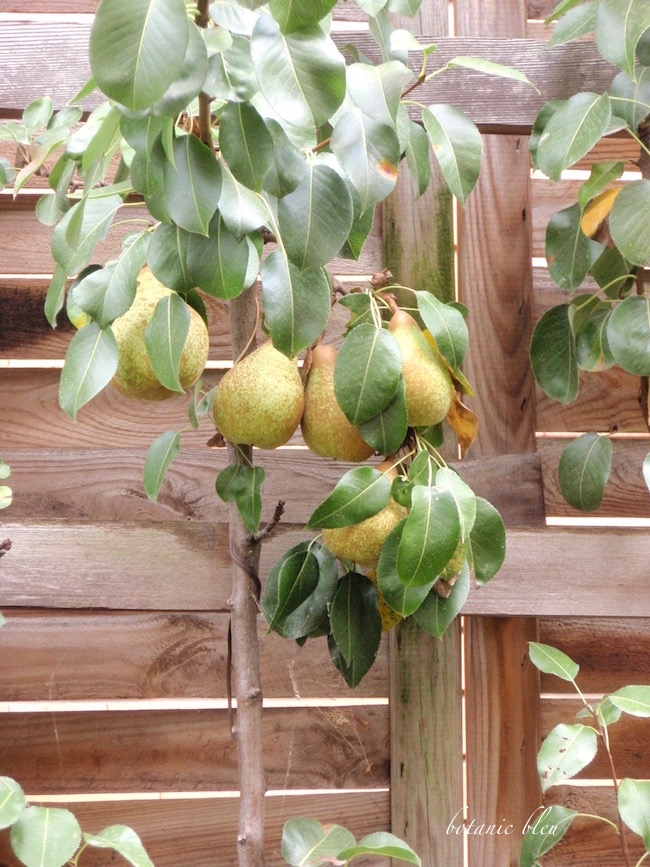 espalier-pear-tree-paris-botanical-garden
