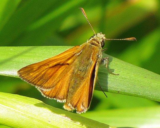 Karłątek kniejnik (Ochlodes sylvanus).