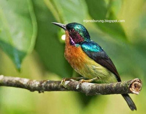 Jenis Burung Makanan Burung Dan Cara Merawat Jenis Burung Kolibri Wulung Ulasan Harga Cara Merawat
