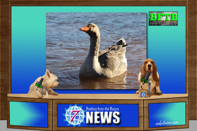 BFTB NETWoof News featuring a mother goose