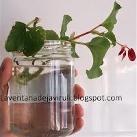 multiplicacion-begonia-semperflorens