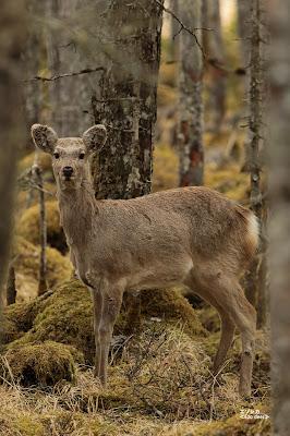 エゾシカ ≪Ezo deer≫