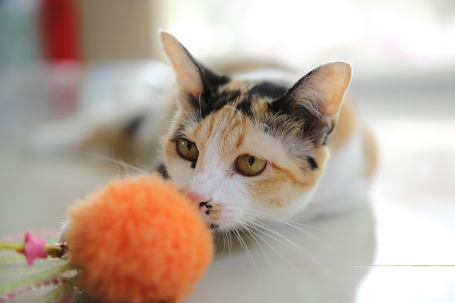 A cute calico cat with a toy