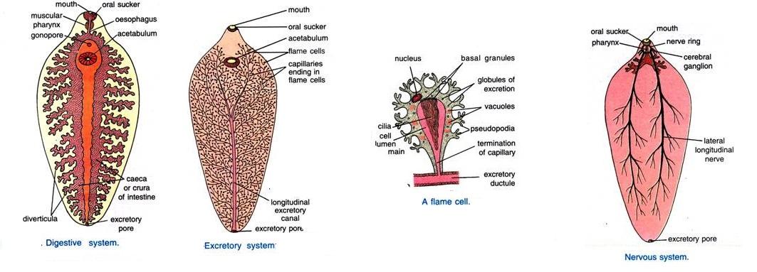 Biology learnspot fasciola hepatica the sheep liver fluke reproductive system fasciola ccuart Gallery