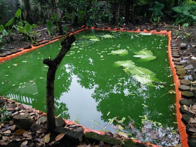 Air kolam berwarna hijau