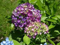 枚方市・市民の森 花の森 紫陽花