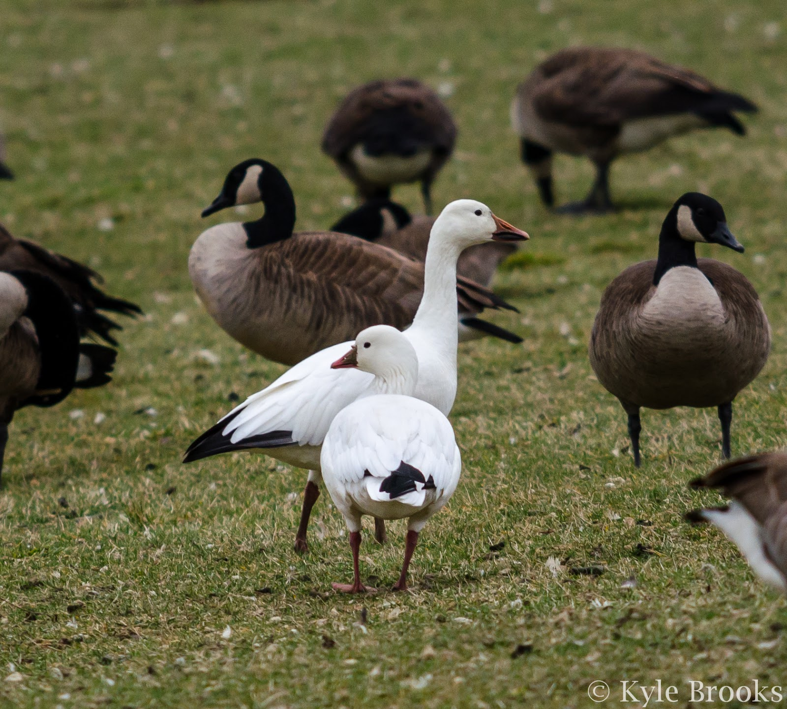 Snow Goose Ross's Goose comparison