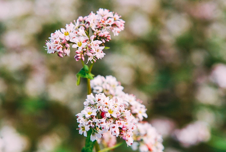 """Chiêm ngưỡng vườn hoa Tam giác mạch """"đẹp mê hồn"""" giữa lòng Pleiku"""