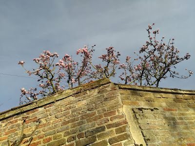 Blossom peeping over a wall against a blue sky