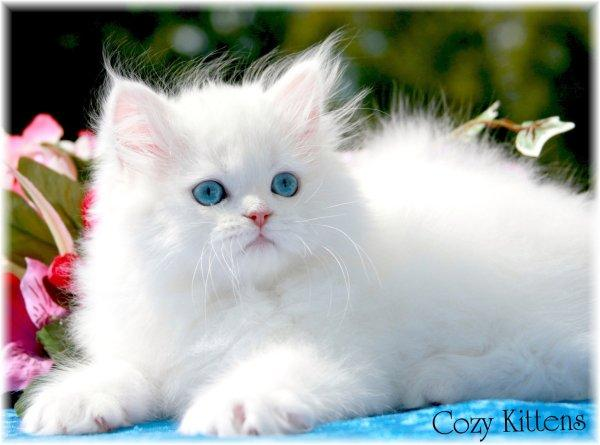 Persian White Punch Face Blue Eyed Cat Needed In Islamabad - Pets