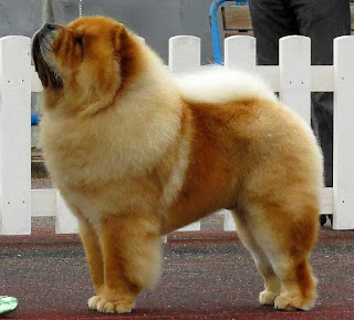 Chow Chow-pets-dogs-dog breeds-pet