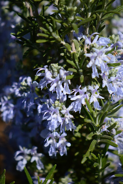 small sunny garden, desert garden, amy myers, photography, about the garden, plant selection, rosemary, tuscan blue