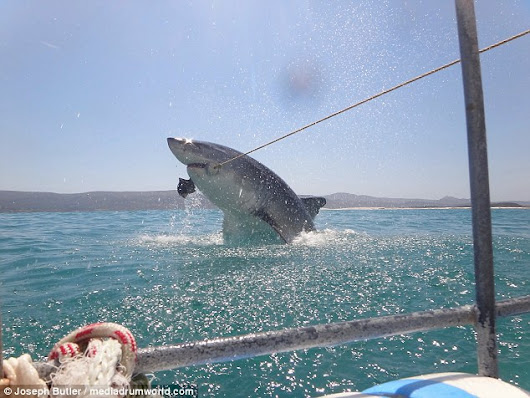 Great White shark breaches the water in pursuit of a tasty treat - @NatGeo