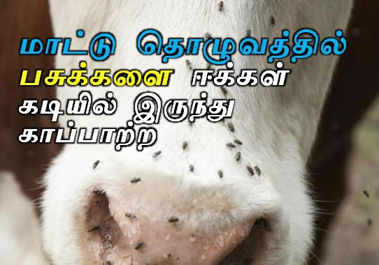 Control flies in Cattle farm tips in tamil, Mattu tholuvathil E thollai, Eekkalai kattupadutha vazhi seimurai, how to get rid of flies on cattle, மாட்டு தொழுவத்தில் பசுக்களை ஈக்கள் கடியில் இருந்து காப்பாற்ற, ஈ தொல்லை ஒழிய , கால்நடை வளர்ப்பு, Agriculture tips tamil, Lifehacks in Tamil,