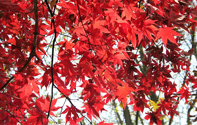 Acer palmatum cultivar showing red autumn leaf colour