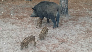 Ctents Glamping, wild boar family