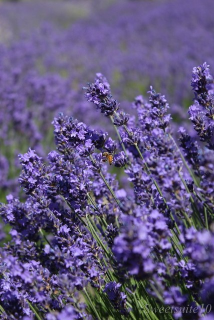 a bee amongst the lavender flowers