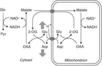 malate aspartate shuttle - Glycerol phosphate shuttle Wikipedia the free encyclopedia