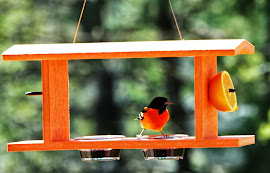 Jelly bird oriole in defense