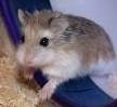 ciri-ciri hamster roboroski