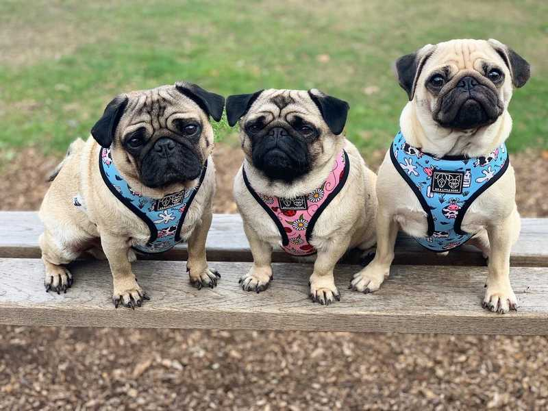Pug Dog Breed Information, a Small Great Dog
