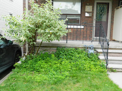 Upper Beaches front yard cleanup before by Paul Jung Gardening Services Toronto