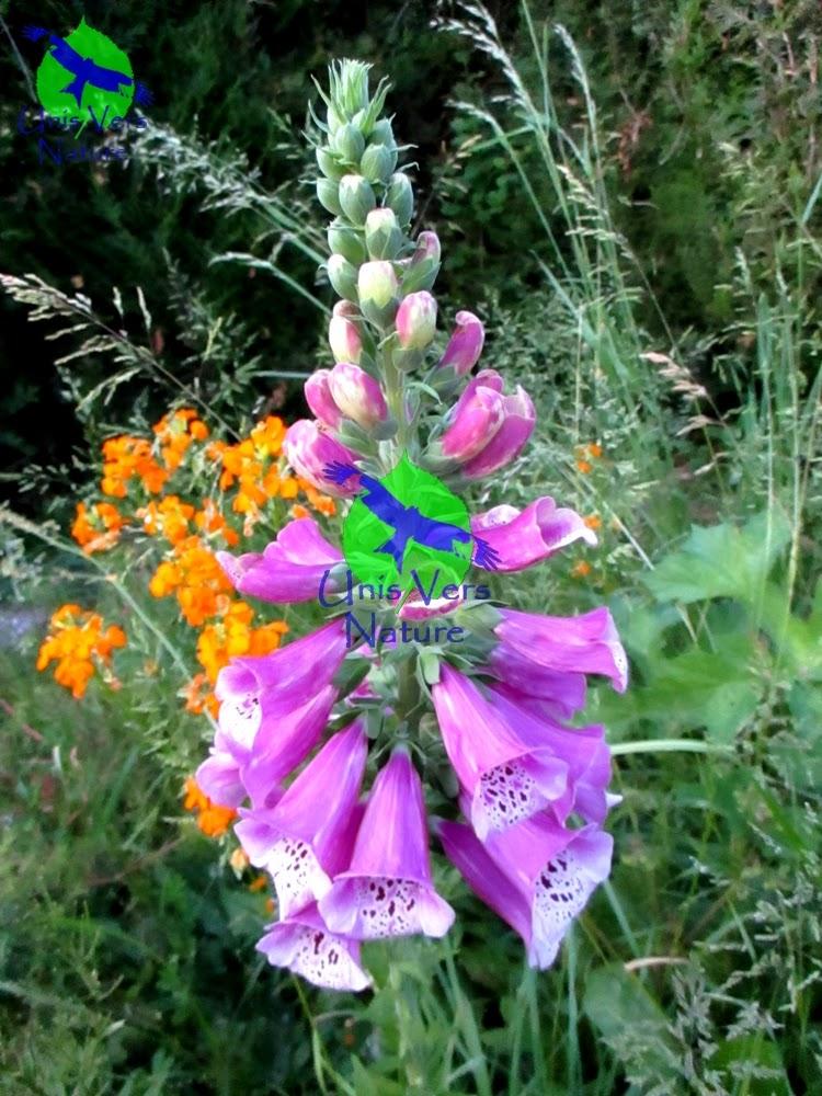 Unis vers nature consoude officinale et digitale pourpre bien les diff rencier - Initiatives fleurs et nature ...