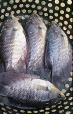 Ikan Nila - Mudah Murah Hasil Melimpah