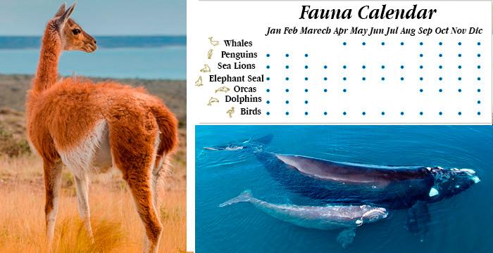calendar fauna valdes peninsula whales sea lions