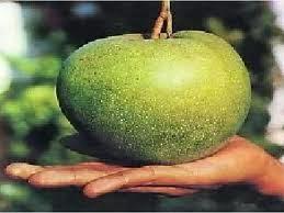 budidaya bibit buah mangga kelapa jawa tengah