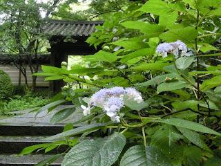 瑞泉寺のタマアジサイ