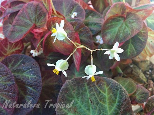 Flores pequeñas de una planta Begonia, género Begonia