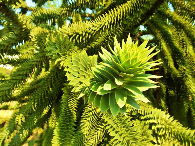 leaves of araucaria araucana - monkey puzzle tree