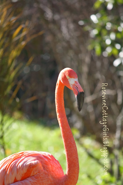 Caribbean Flamingo, (C) Rosevine Cottage Girls, Nashville Zoo, Zoo at Grassmere