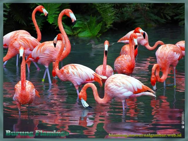 gambar burung flamingo