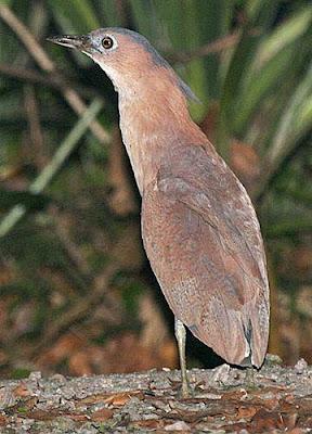 Malay Night-heron