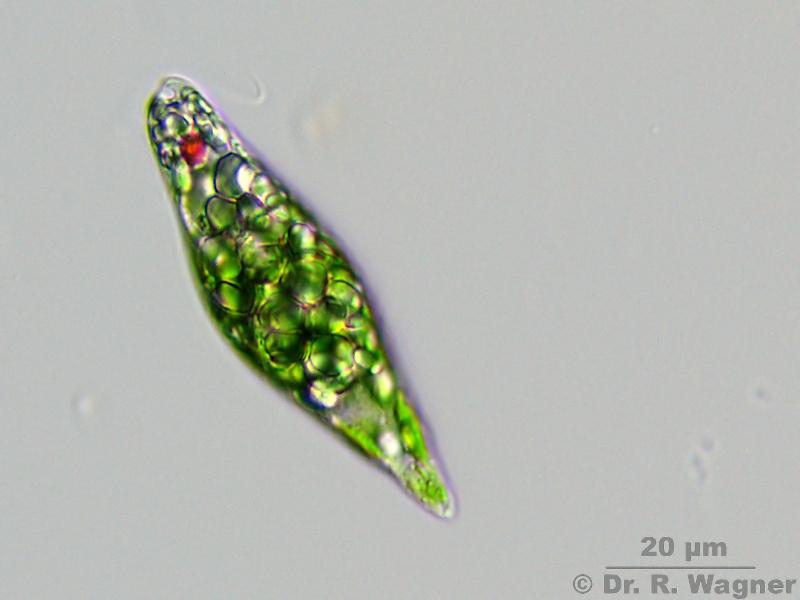 Alangaesia  Euglenophyta