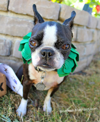 Sinead the Boston terrier in her garland