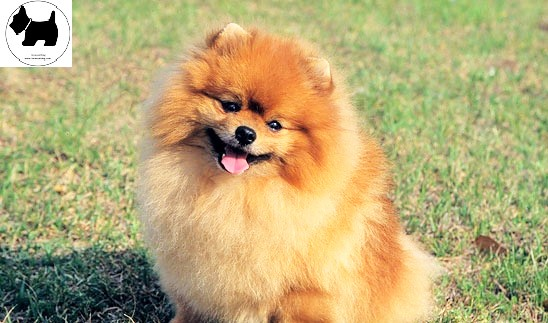 Cutest Dog Breeds, Best Dog, Pomeranian Dog