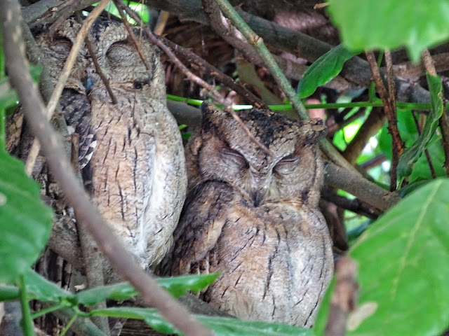 owls in bharatpur