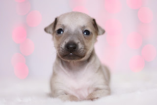 http://www.italiangreyhound.eu/2018/12/pink-girl.html